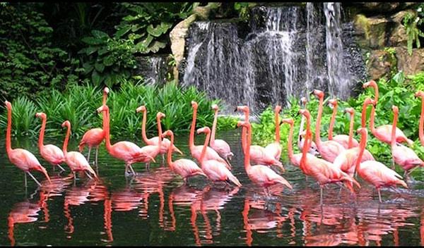 Đàn hồng hạc hiếm có trong vườn chim Jurong