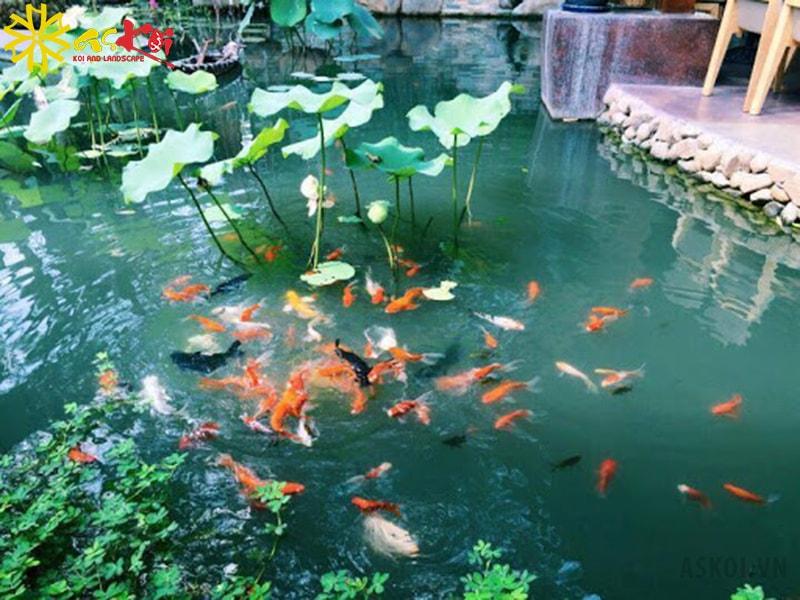 Hồ sen cá Koi